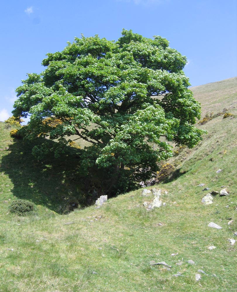 sycamore tree in Settlebeck Gill