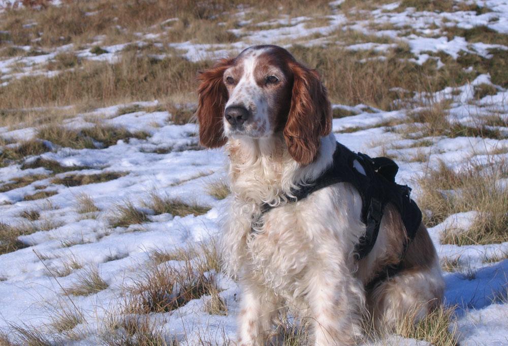 Tilly the Welsh Springer