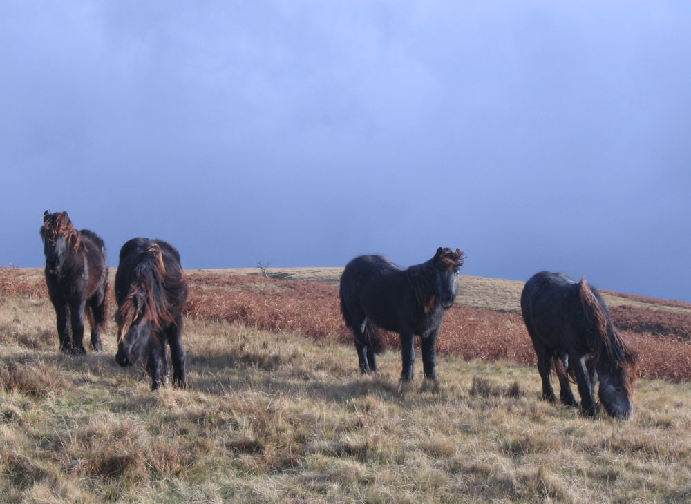 photo of fell ponies