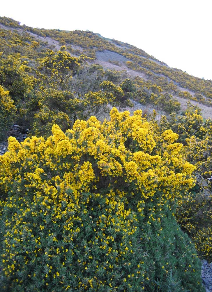 gorse flowers glow in evening light