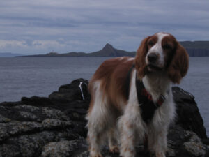 Welsh Springer on Ramasaig beach