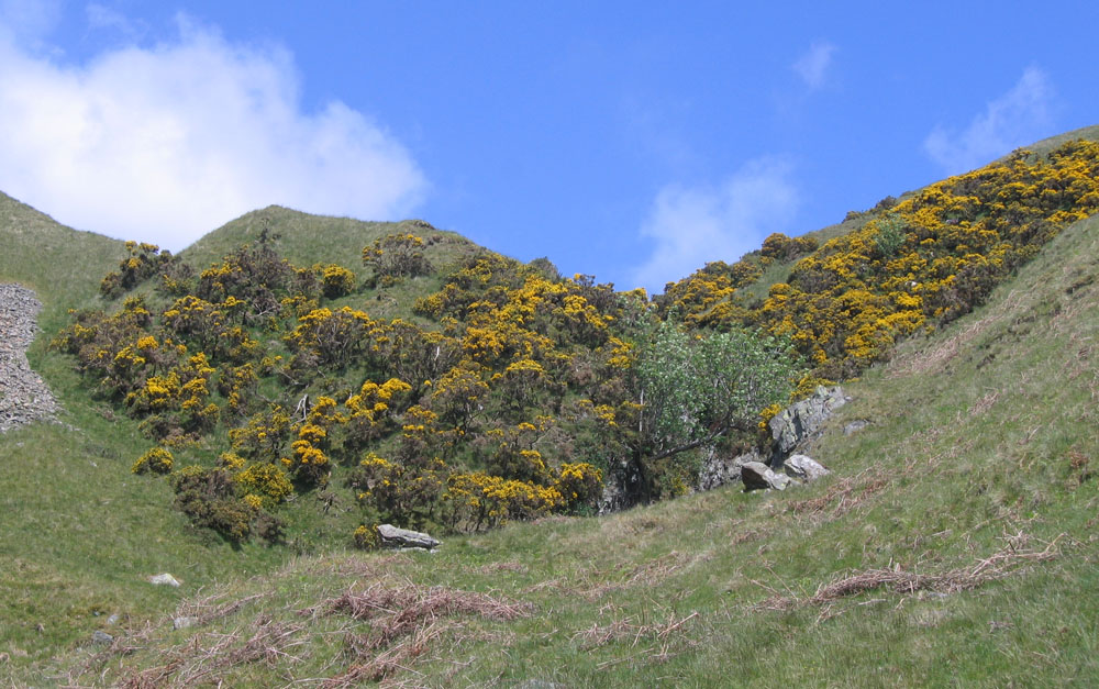tree, gorse, hills and sheep